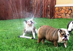 ❤ Wrong place - wrong time.  If only this guy  had kept up with his bud --- he'd be dry now. Some kisses should make it better! ❤ Posted on Bulldog Pics