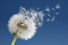 Photo about Dandelion with seeds blowing away in the wind across a clear blue sky. Image of nature, growth, cycle - 30710948 Blowing Dandelion, Dandelion Clock, Dandelion Tattoos, Oscar Niemeyer, Allergies Au Pollen, Peace Pictures, Words With Friends, Clear Blue Sky, Blown Away