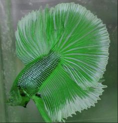 Wow! Nature is so beautiful and vibrant. I HAVE NEVER SEEN THIS GREEN ON A BETTA. I FIND THIS SUSPECT.