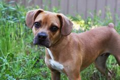 This will be my next dog! French Bulldog/Boxer mix. He's ... Beagle Boxer Mix Full Grown