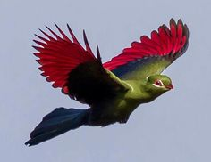 Great photo-Knysna Turaco in flight. South African Birds, Unlikely Friends, Knysna, Stained Glass Flowers, Rare Animals, African Animals, Beautiful Birds, Beautiful Creatures, Animal Photography