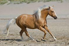 palomino horse running on the beach
