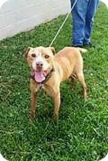 Chatham, VA - American Pit Bull Terrier. Meet Goldie, a dog for adoption. http://www.adoptapet.com/pet/11534429-chatham-virginia-american-pit-bull-terrier