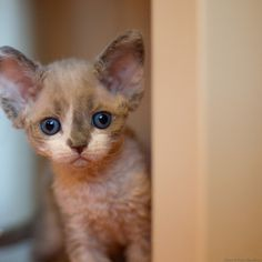 I sees somedin  devon rex kittens
