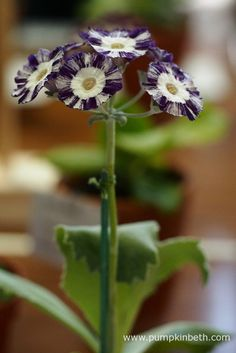 This Primula auricula 'Night and Day' was exhibited by Colin Humphrey, this specimen was awarded first prize in its class, and was selected as one of The Premier Plants at The National Auricula and Primula Society Southern Section Auricula Show. Primula Auricula, Topiary Trees, Primroses, Garden Images, Rare Plants, Wild Nature, Bridesmaid Flowers, Day For Night, Flower Petals