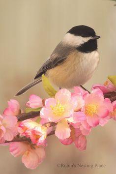 Chickadee at Robin's Nesting Place blog.