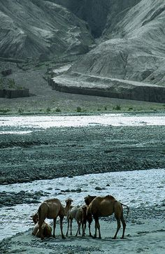 Karakorum highway (Xinjiang, China): camels on the Ghez river. This road takes you from Kashgar to the border with Pakistan. You'll pass 20,000 foot peaks on the way,and the road is very dangerous between October-May.