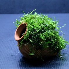 Java-Moss-Ceramic-jar-S-Aquarium-Ornament-Live-aquaric-plant-fish-tank; fish need clay to lay their eggs and have them stick. Moss is an elegant way to cover unwanted terracotta in your aquarium theme. Tropical Fish Store, Tropical Fish Aquarium, Tropical Fish Tanks, Aquarium Fish Tank, Planted Aquarium, Aquarium Garden, Aquarium Ornaments, Aquarium Decorations, Aquarium Ideas