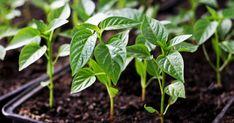 A paprika palántázása, szakértőnk mindent elmond nektek a paprika palántázásáról, olvasd el remek írását, és tudj meg mindent a paprika palántázásáról. Pepper Plants, Growing Seeds, Planting Vegetables, Seed Starting, Small Trees, Live Plants, Botany, Harvest, Grass