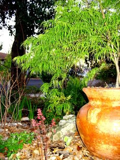 'Waterfall' Acer palmatum dissectum (Japanese maple) in rustic clay pot with 'Firefly' heuchera in woodland glade   Flickr - Photo Sharing!
