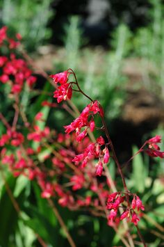 """Northern Fire Coral Bells (Heuchera """"Northern Fire"""") in St Paul Minneapolis Twin Cities Metro Minnesota at Linder's Garden Center 10 in- 24 in with scapes, shade tolerant, blooms late spring to mid summer"""