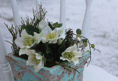Helleborus niger (hier wahrscheinlich H. orientalis) - Nieswurz - Christrose. S.a. http://www.gartendatenbank.de/forum/christrose-hgc-jacob-blumenstrauss-im-topf-dezember-t-798-1