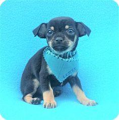 Burbank, CA - Miniature Pinscher/Chihuahua Mix. Meet Lester, a puppy for adoption. http://www.adoptapet.com/pet/17190737-burbank-california-miniature-pinscher-mix
