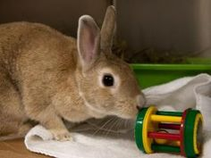 FLOSSY is an adoptable Bunny Rabbit Rabbit in Boston, MA.
