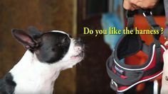 This Boston Terrier is doing a trick about the choice between the Choke Collar or the Harness! 😀 Watch ► http://www.bterrier.com/?p=30740 - https://www.facebook.com/bterrierdogs