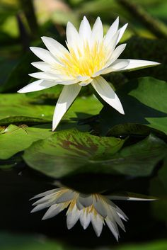 Water Lily-flower of July (my birthday month)