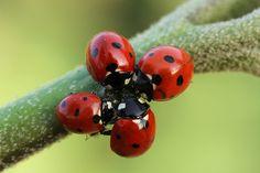 Photograph ladybugs by mehmet karaca on 500px