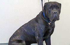 Check out Cesar's profile on AllPaws.com and help him get adopted! Cesar is an adorable Dog that needs a new home. https://www.allpaws.com/adopt-a-dog/cane-corso-mastiff/6397191?social_ref=pinterest