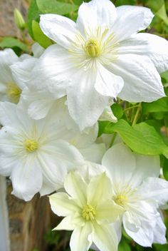 """Clematis 'The Bride' white yellow long stamens 8 petals."""