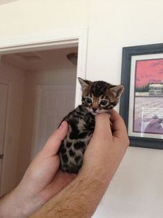 Palm-sized kitten...
