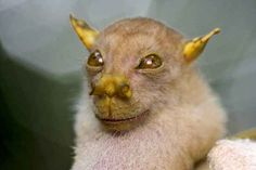 The Endangered , Tube Nosed Bat. Found in the Philippines it eats figs and fruit.