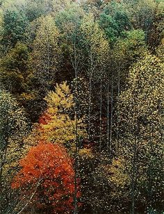 Poplars and Hillside in Great Smoky Mountains National Park, Tennessee.