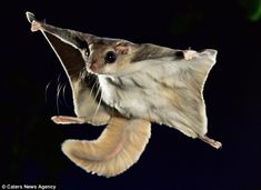 The nocturnal flying squirrel is one cool little critter. Fun facts about nocturnal flying squirrels. Flying Squirrel Pet, Japanese Dwarf Flying Squirrel, Cute Creatures, Beautiful Creatures, Animals And Pets, Cute Animals, Strange Animals, Canadian Animals, Mundo Animal