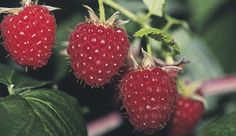 How to grow raspberries, written by someone in the PNW. The classically red everbearing variety 'Summit' has yielded from July into December in the author's Pacific Northwest garden Fruit Garden, Edible Garden, Vegetable Garden, Fine Gardening, Organic Gardening, Gardening Tips, Compost, Growing Raspberries, Strawberries