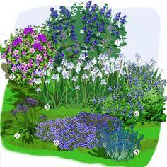 Projet aménagement jardin : Jardin bleu, blanc et pourpre Caryopteris 'Grand bleu' Hibiscus 'Oiseau bleu' Iris 'Oregon skies' Salvia patens Salvia chamaedryoides Geranium vivace 'Rozanne' Agapanthe