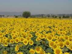 Tuscany... the whole reason I planted sunflowers this year!