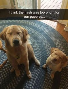 "Figure out more relevant information on ""golden retriever puppies"". Check out our site. Funny Dog Memes, Funny Animal Memes, Cute Funny Animals, Funny Animal Pictures, Cute Baby Animals, Dog Pictures, Funny Cute, Funny Dogs, Super Funny"