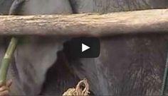 This is why you should not ride elephants in Thailand. Please watch and share! - BBN News