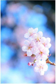 flor de cerejeira                                                                                                                                                                                 Mais