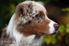 Oh myyy. A red merle Aussie Puppies, Dogs And Puppies, Doggies, Australian Shepherd Merle, I Love Dogs, Cute Dogs, Working Dogs, Beautiful Dogs, Best Dogs