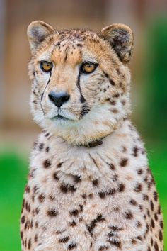 Pretty posing cheetah portrait (by Tambako the Jaguar)