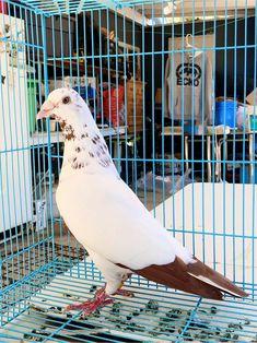 Pigeons For Sale, Pigeon Pictures, Homing Pigeons, Pigeon Breeds, Lions Photos, Bird Gif, Beautiful Birds, Pet Birds, Strange Animals