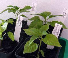 pflanzen selber ziehen auf pinterest garten mango und haus. Black Bedroom Furniture Sets. Home Design Ideas