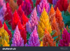 Plumped Celosia Flower Stock Photo 171725486 - Shutterstock