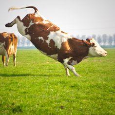 En dit is waarom we alle koeien graag in de wei zien! Kies daarom voor #binnenmelkvrij en stuur je kaasmaker een kaart.