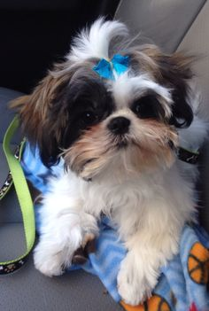 Shih Tzu puppy  My girls are half Shih Tzu/