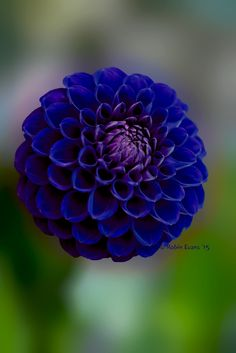 ~~Crystal Blue Persuasion | royal blue pompon dahlia | by Robin Evans