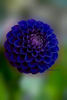 ~~Crystal Blue Persuasion | royal blue pompon dahlia | by Robin Evans.  Really?  A blue Dahlia?