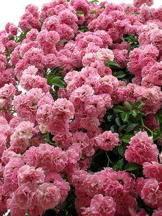 Rose Bibiche, Climbing バラ ビビシェ つる by T.Kiya - via Pepe Le Gambá Love Rose, Pretty Flowers, Beautiful Roses, Beautiful Gardens, Pink Roses, Pink Flowers, Blooming Flowers, Rose Foto, Coming Up Roses