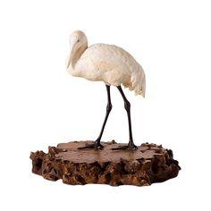 A Japanese Meiji period naturalistically carved ivory crane, on a burled wood base. Signed Kofu