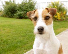 Jack Russell Terrier - Winston :-)