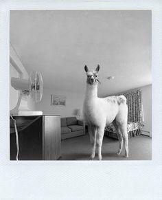 I LOVE LLAMAS! But how can you keep calm when you are in love with llamas? Farm Animals, Animals And Pets, Funny Animals, Cute Animals, Alpacas, Cute Llama, Llama Alpaca, Black White, Portraits