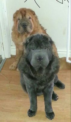 I Love Dogs, Puppy Love, Cute Dogs, Bear Coat Shar Pei, Blue Shar Pei, Wrinkly Dog, Shar Pei Puppies, Dog Language, Chow Chow