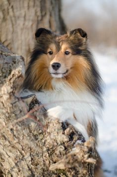 Mini Collie, Shetland Sheepdog, Sheltie, Minho, I Love Dogs, Heart, Photos, Portraits, Animals
