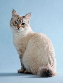 Rare cat breeds and Breed information - American Bobtail Cat