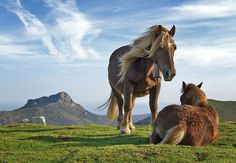 Pottok horses on Bianditz mountain, in Navarra. Behind lie the Aiako mountains. The Pottok (Wikipedia) is an endangered, semi-feral breed of pony native to the Pyrenees of the Basque Country, Pottoka being the Basque language name for this horse, both north and south of the mountains.